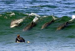 Surfing Bottlenose Porpoise