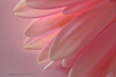 Petals......... photo by Debbie Stanger