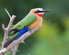 Abelharuco-de-testa-branca / White-fronted bee-eater photo by António Guerra