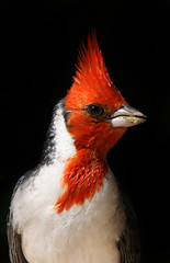 Red Crested Cardinal photo by Eldad Hagar (Please support Hope For Paws)