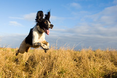 Flying Spaniel photo by Dusty V