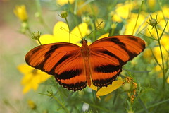 The Banded Orange Butterfly photo by minxslp