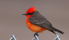 Vermilion Flycatcher photo by Laney Bird