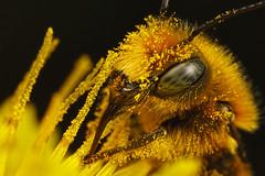 Feeding Mason Bee I photo by Dalantech