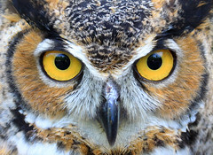 Great Horned Owl photo by Lifeinthenorthwoods.com