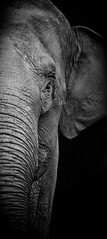 Elephant Portrait B+W photo by Andy Biggar Photography (Otter Spotter)