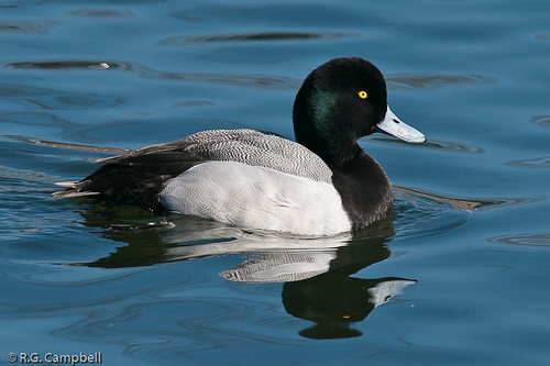 Greater Scaup-8086
