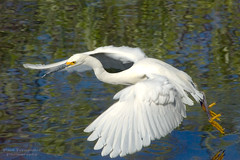 Snowy Egret on the Wing 5 at Shark Valley, Everglades National Park photo by D200-PAUL