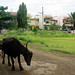 Indian black cows on a dirt road