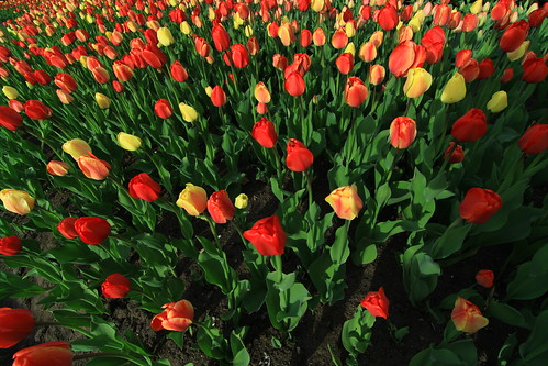 Bed of tulips...