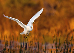 Floating In - Great Egret in Afternoon Light photo by Rob Travis