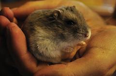 Russian Dwarf Hamster 6