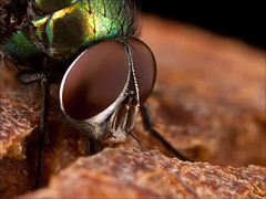 Greenbottle photo by HiddenNature
