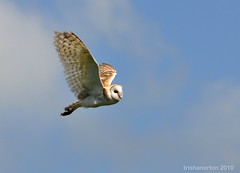 Barn Owl photo by trishanorton