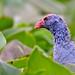 Purple Swamphen (Porphyrio porphyrio pulverulentis)