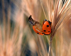Coccinelle photo by home77_Pascale