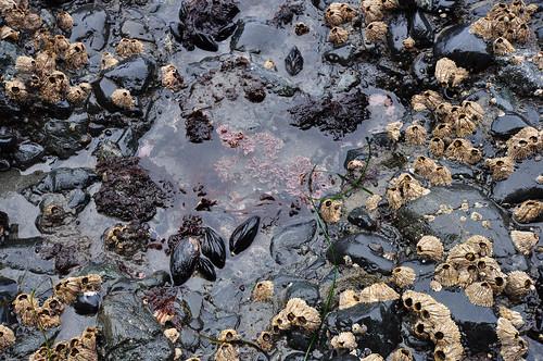 Juan de Fuca Trail, Bear Beach, barnacles