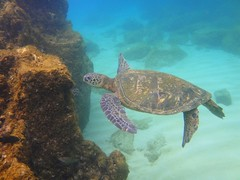 sea turtle in Waimea bay photo by marinfinito
