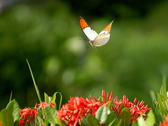 White+orange flight. photo by tyro5