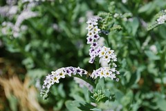 9d. Salt Heliotrope Photo