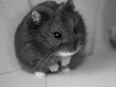 Russian Dwarf Hamster - Sammy