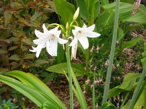 Crinium blanc