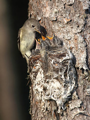 Least Flycatcher's Nest Revisit - Feedin' Time