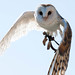 Susi the Barn owl in flight