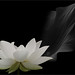 White lotus flower and the leaf in black and white on black background / black and white / black / white / - IMGP7706-800-L