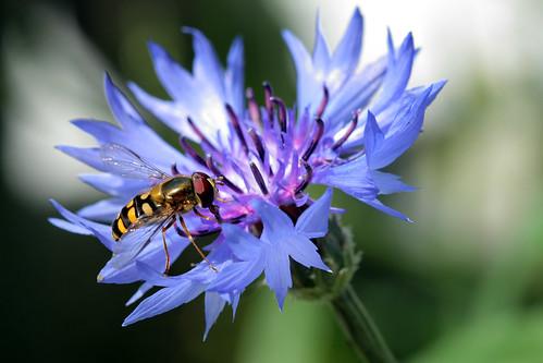 L'abeille et le bleuet