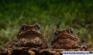 Cane-Toads_