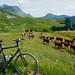 Reblochon cows