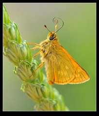 Large Skipper (Ochlodes sylvanus) photo by Pete Withers