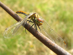 Dragonfly Vagrant Darter (Female) - Sympetrum vulgatum photo by Batikart ... handicapped ... sorry for no comments