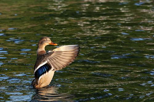 Canard / Duck