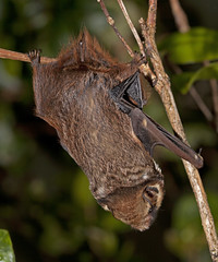 ʻōpeʻapeʻa or Hawaiian Hoary Bat (Lasiurus cinereus semotus) photo by weedmandan