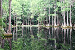 Cypress Tree Swamp                   **Seen in EXPLORE 7/26/2010 (Front Page)** photo by canikon1998