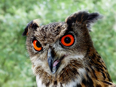 Eurasian Eagle Owl photo by Weeping-Willow Photography