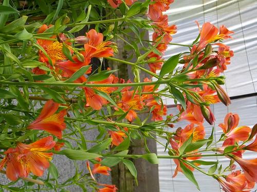 Alstromoere Orange