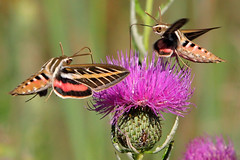 White-Lined Sphynx Moths on Thistle photo by jrophoto