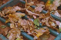 (( تساقط أوراق الخريف )) photo by miss-norah