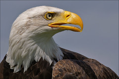 Proud Bald Eagle photo by Foto Martien