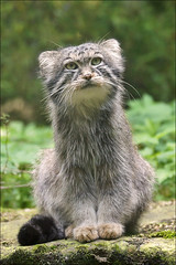 Manul, a small wild cat photo by Foto Martien