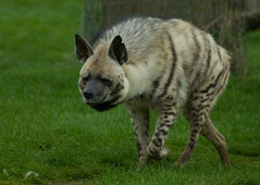 Striped Hyena (Hyaena hyaena), Africa Alive photo by spencer77