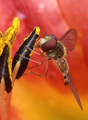 Hoverfly,episyrphus balteatus photo by claylaner