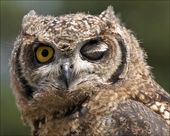 Winking Owl photo by Foto Martien