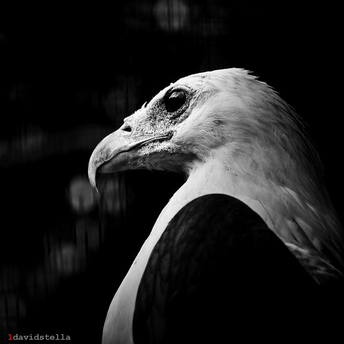 Haliaeetus Leucogaster {White-bellied Sea Eagle}