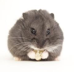 Hamster Nom