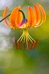 Turk's Cap Lily photo by Laura Ashley Varney