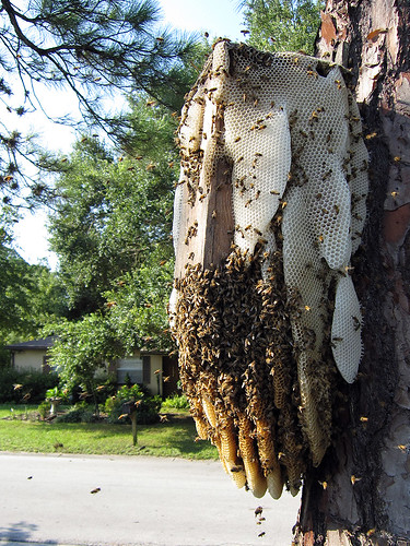 Bees evacuating their hive